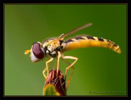 Hoverfly. by israelfi