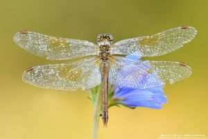 Sympetrum by patrykcyk
