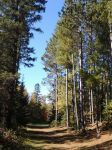 Majestic Pines by julie-jeanette1123