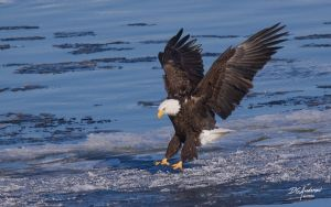 Eagle ice landing by DGAnder