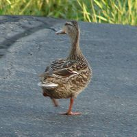 Duck in the Road from Behind by FantasyStock