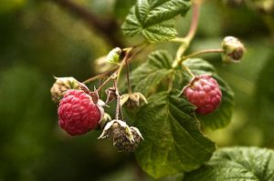 Raspberries, muted by muffet1