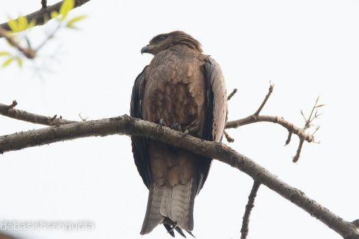 Black Eared Kite by DebasishPhotos