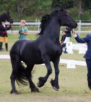 Friesian Stallion Rearing by suuslovertje
