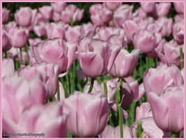 Central Park Tulips by Genteel