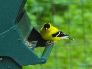 152202_MaleGoldfinch3 by NemoNameless