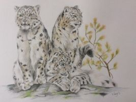 Snow leopard by Helenr251
