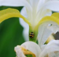 Checkered Ladybug on Iris by BlueSolitaire