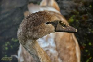 Cygnet by Rockin-billy