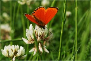 Orange butterfly by little-white-daisy