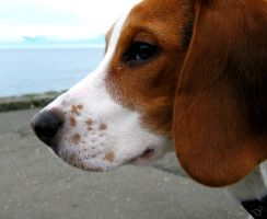 Buddy The Beagle by BlackDarkness