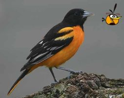 Real Angry Birds(Orange) by domo911