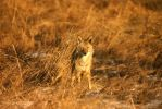 coyote at sunset by wildfotog