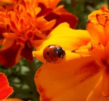 Coccinellidae and Tagetes patula by Distraughtamus
