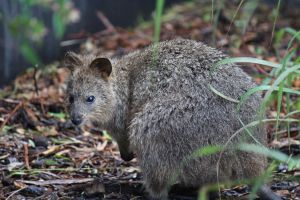 Quokka by yeahBISH