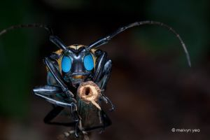 Longhorn Beetle with UV eyes by melvynyeo