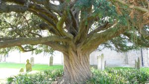 The yew tree by Kayleigh-Kaz