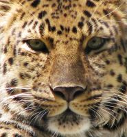 Amur Leopard Stock 3 by HOTNStock