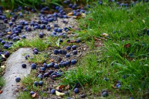 Fallen berries by Jbay13490