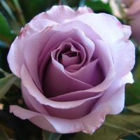 Purple Rose for Tehkella by FantasyStock