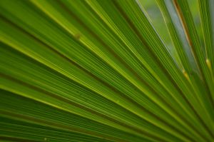 Palm Leaves by PoultryChamp