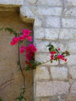 Pink flowers on a wall by Emystick-stocks