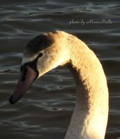 The ugly duckling. by MauiMelle