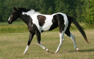 black and white tobiano paint by venomxbaby