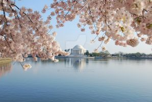 Cherry Blossoms by Dcpe