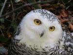 GERMAN SNOWY OWL by CHRISwillar