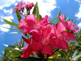 Pink Flowers and Blue Sky by richardxthripp