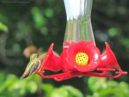 Humming Bird Picture-1 by JLAT1990