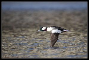 Buffle Head Duck by AlexCphoto