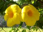 Yellow blooms by rojohn143torreres