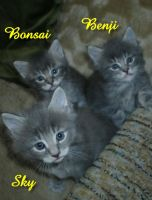 3 Main Coon brothers by Catskind