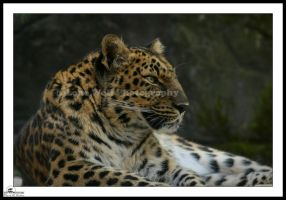 Amur Leopard 01 by LoneWolfPhotography