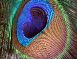 The coloured eye of a peacock. by Glambition