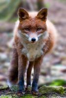 Red Fox2 by PictureByPali