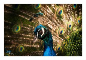Leon by sG-Photographie
