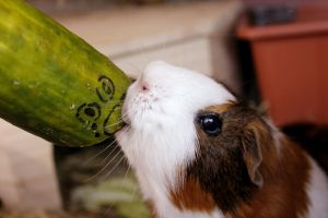 murder piggy! if you are a cucumber, keep away!! by Calitha-Lena