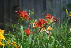 Red Orange Lilies by CAMeo-Artworks