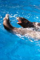 Sea Lions Play by Piddling