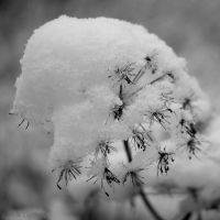 Snow capped Umbellifera by TomNL