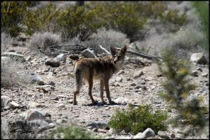 High desert coyote by DragonWolfACe