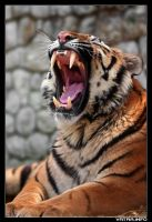 The yawning tiger by ivekvatrozic