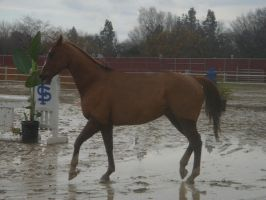 Prancing Chestnut - Tackless- by rachellafranchistock
