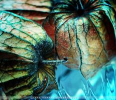 Physalis by Cixipod