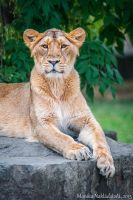 Curious Lioness by amrodel