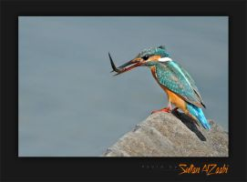 King Fisher Common by Sultan-AlZaabi