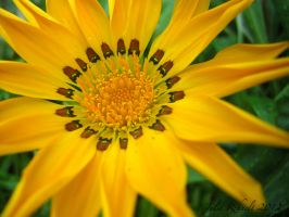 Golden Gazania by jewels4665